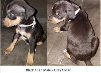 Catahoula Leopard Puppies for sale in Huntington, TX 75949, USA. price: NA