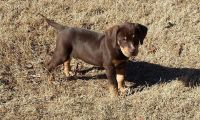 Catahoula Leopard Puppies for sale in Bloomfield Ave, Bloomfield, CT 06002, USA. price: NA