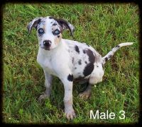 Catahoula Leopard Puppies for sale in Groveton, TX 75845, USA. price: NA