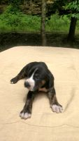 Catahoula Leopard Puppies for sale in Bays, KY 41310, USA. price: NA