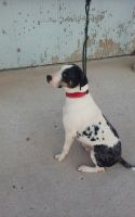 Catahoula Leopard Puppies for sale in Grabill, IN 46741, USA. price: NA