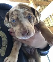 Catahoula Leopard Puppies for sale in Chillicothe, OH 45601, USA. price: NA