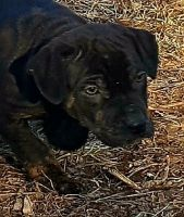 Catahoula Leopard Puppies for sale in Des Moines, IA, USA. price: NA