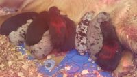 Catahoula Leopard Puppies for sale in Fremont, MO 63941, USA. price: NA