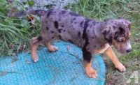 Catahoula Leopard Puppies Photos