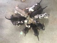 Catahoula Leopard Puppies for sale in Santa Ysabel, CA 92070, USA. price: NA