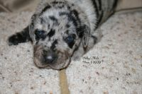 Catahoula Leopard Puppies for sale in Milan, IL, USA. price: NA