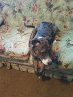 Catahoula Leopard Puppies for sale in Adel, GA 31620, USA. price: NA
