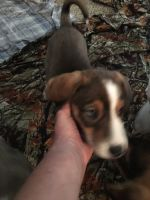 Catahoula Leopard Puppies for sale in Houston, TX, USA. price: NA