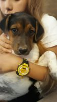 Catahoula Leopard Puppies for sale in Apache Junction, AZ, USA. price: NA