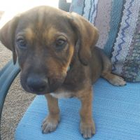 Catahoula Leopard Puppies for sale in Alfalfa, OR 97701, USA. price: NA