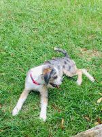 Catahoula Leopard Puppies for sale in Titusville, FL, USA. price: NA