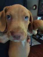 Catahoula Leopard Puppies for sale in Fruitland Park, FL, USA. price: NA