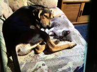 Catahoula Leopard Puppies for sale in Providence, RI, USA. price: NA