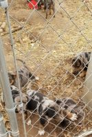 Catahoula Leopard Puppies for sale in Neosho, MO 64850, USA. price: NA