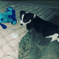 Catahoula Leopard Puppies for sale in Reno, NV, USA. price: NA