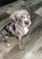 Catahoula Leopard Puppies for sale in Garland, TX, USA. price: NA