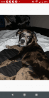 Catahoula Leopard Puppies for sale in 7461 Murray Heights Dr S, Irvington, AL 36544, USA. price: NA
