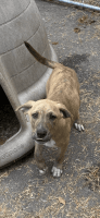 Catahoula Leopard Puppies for sale in Smiths Station, AL 36877, USA. price: NA