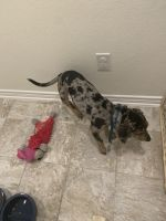 Catahoula Leopard Puppies for sale in Hanging Branch, San Antonio, TX 78253, USA. price: NA