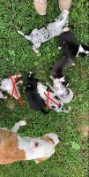 Catahoula Leopard Puppies for sale in Lockridge, IA 52635, USA. price: NA