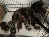 Catahoula Leopard Puppies for sale in Clayton, NC, USA. price: NA