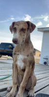 Catahoula Leopard Puppies for sale in Portales, NM 88130, USA. price: NA