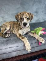 Catahoula Leopard Puppies for sale in Palm Bay, FL, USA. price: NA