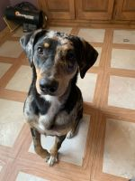 Catahoula Leopard Puppies for sale in Toledo, OH, USA. price: NA