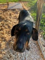 Catahoula Leopard Puppies for sale in Rutherfordton, NC, USA. price: NA