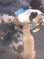 Catahoula Leopard Puppies for sale in Bakersfield, CA 93306, USA. price: NA