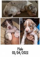 Catahoula Leopard Puppies for sale in Lexington, TX 78947, USA. price: NA