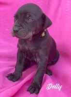 Catahoula Leopard Puppies for sale in Driftwood, TX 78619, USA. price: NA