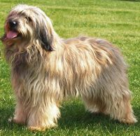 catalan sheepdog dog
