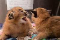 California Spangled Cat Cats for sale in Los Angeles, CA, USA. price: NA