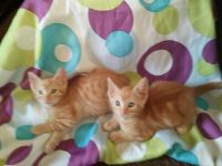Tabby Cats for sale in El Monte, CA, USA. price: NA