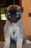 Caucasian Shepherd Puppies for sale in Gainesville, FL, USA. price: NA