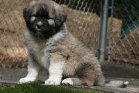 Caucasian Shepherd Puppies for sale in Anaheim, CA, USA. price: NA