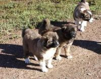 Caucasian Shepherd Puppies for sale in Los Angeles, CA, USA. price: NA
