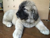 Caucasian Shepherd Puppies for sale in Charlotte, NC, USA. price: NA