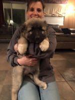 Caucasian Shepherd Puppies for sale in Las Vegas, NV, USA. price: NA
