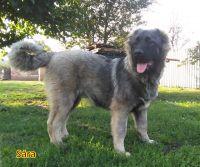 Caucasian Shepherd Puppies for sale in College Park, MD 20740, USA. price: NA