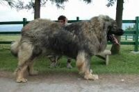 Caucasian Shepherd Puppies for sale in New York, NY, USA. price: NA