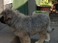 Caucasian Shepherd Puppies for sale in Chicago, IL, USA. price: NA