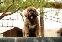 Caucasian Shepherd Puppies for sale in California St, San Francisco, CA, USA. price: NA