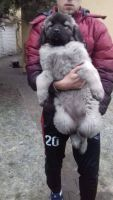 Caucasian Shepherd Puppies for sale in Indianapolis, IN, USA. price: NA