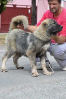 Caucasian Shepherd Puppies for sale in Columbus, OH, USA. price: NA