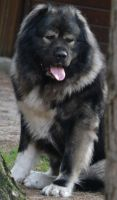 Caucasian Shepherd Puppies for sale in Troy, OH 45373, USA. price: NA