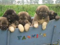 Caucasian Shepherd Puppies for sale in Houston, TX, USA. price: NA