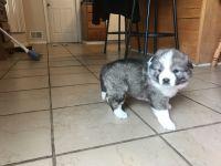 Caucasian Shepherd Puppies for sale in Petersburg, MI 49270, USA. price: NA